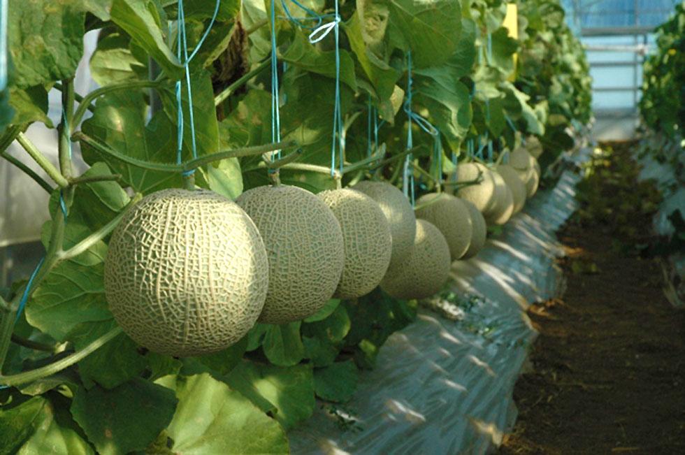 Matsuura Earl's Melon
