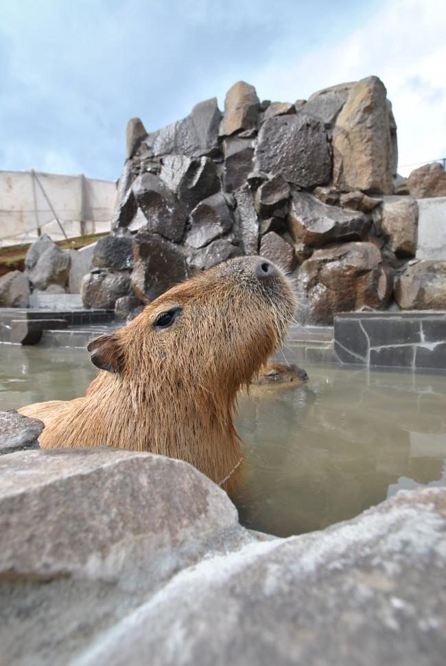 カピバラ温泉③
