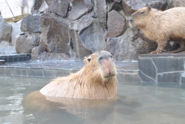 カピバラ温泉②
