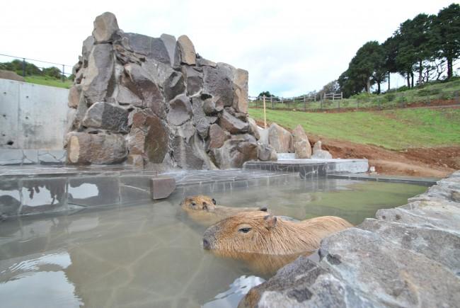 カピバラ温泉①