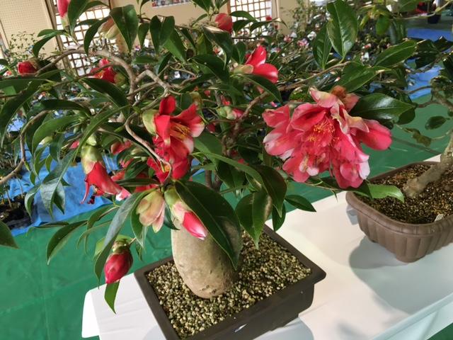 「第44回福島つばき祭り」が開催されます!